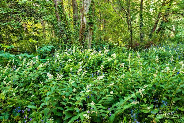 Riparian forest, False Solomon's Seal and Larkspur Alton Baker Park, Eugene Oregon.