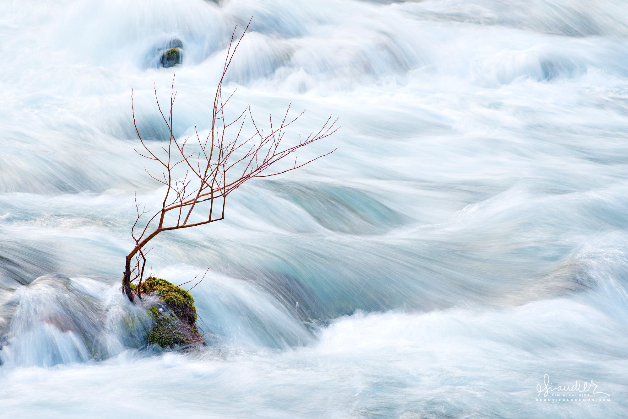 A willow clings to bedrock rapids along the North Fork Willamette River. Willamette National Forest, Oregon West Cascade.