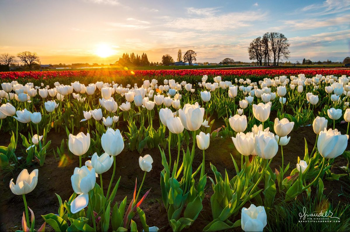 Sunrise Over The Wooden Shoe Tulip Farm Marion County, Willamette Valley