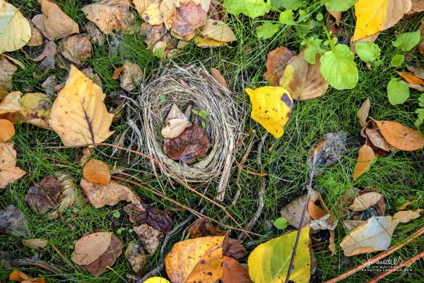 Birds Nest and Cottonwood Leaves