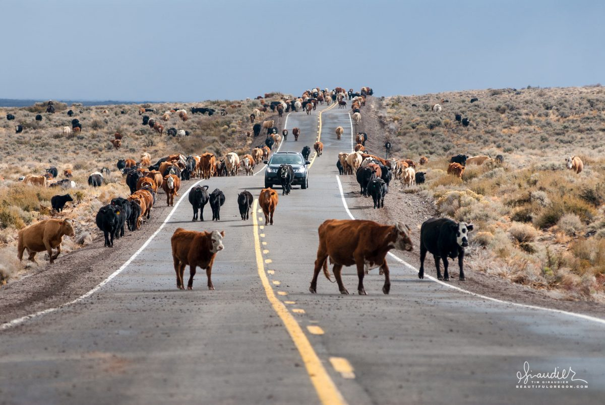 Eastern Oregon cattle drive. Bring livestock down from the Eastern Oregon highlands. Windy Pass, Harney County.