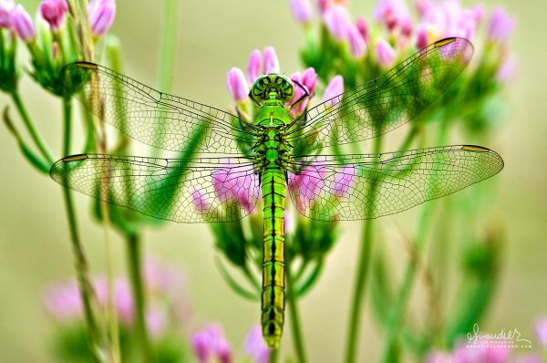 Western Pondhawk Dragonfly (Erythemis collocata)