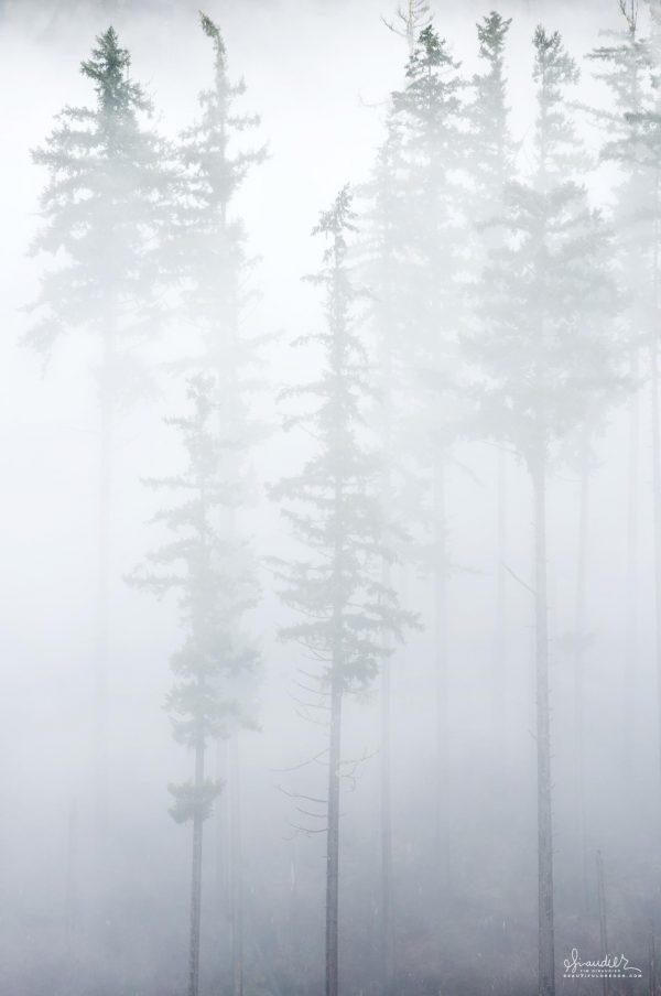 Foggy Douglas-fir forest, in Willamette National Forest. Oregon West Cascades.