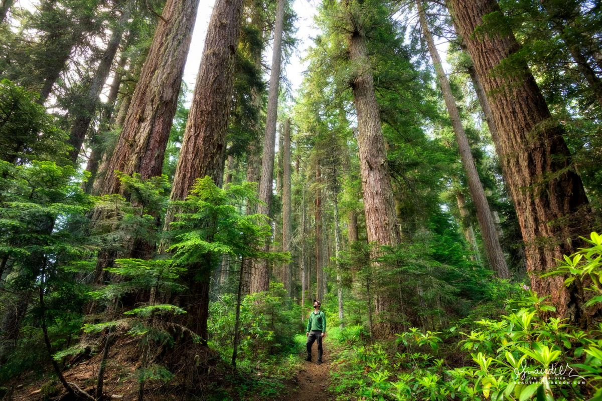 Hiking Oregon's old-growth forest. Willamette National Forest, Oregon West Cascades.
