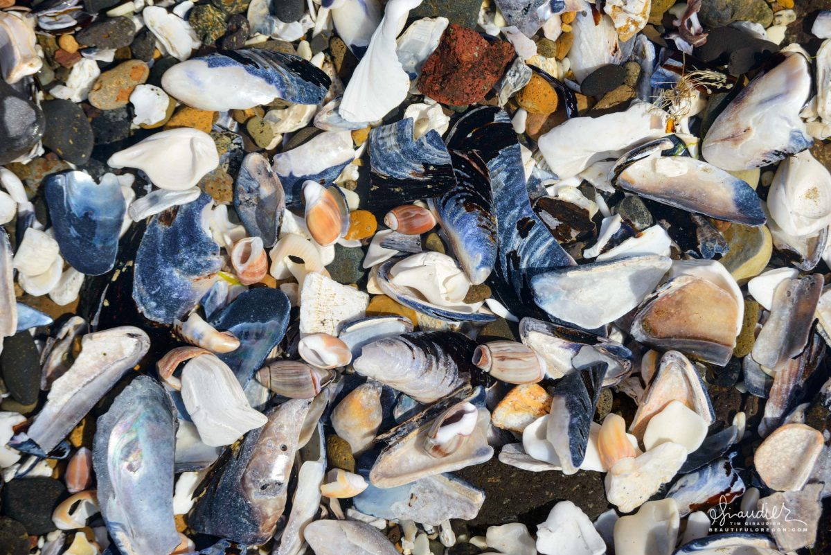 In the rocky intertidal shoreline, a tide pool holds an assortment of wave crushed seashells comprised largely of Olive shells (Callianax biplicata), and California Blue Mussels (Mytilus californianus). Yachats, Oregon Central Coast.