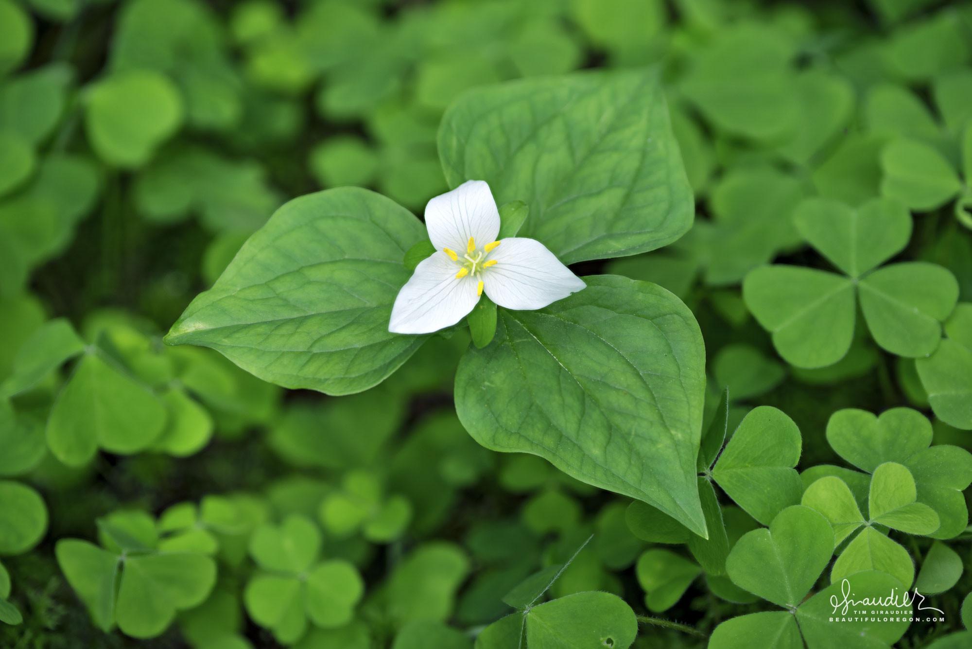 Trillium Blossom Trilium ovatum wildflowers