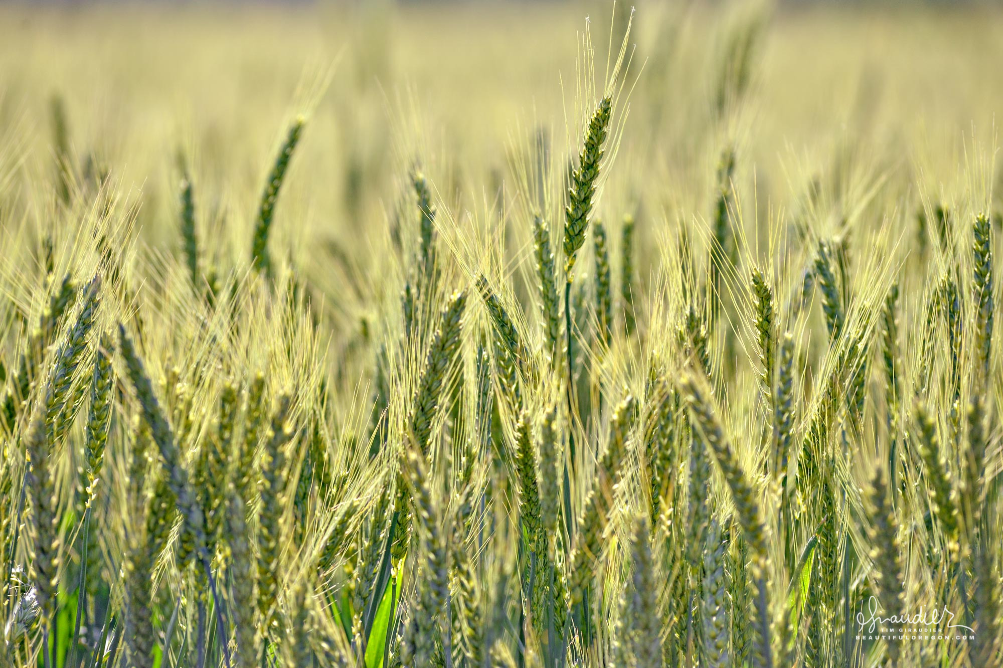 Willamette Valley winter wheat begins to mature in early June. The crop will be harvested in July or early August. Polk County, Oregon agriculture photography.