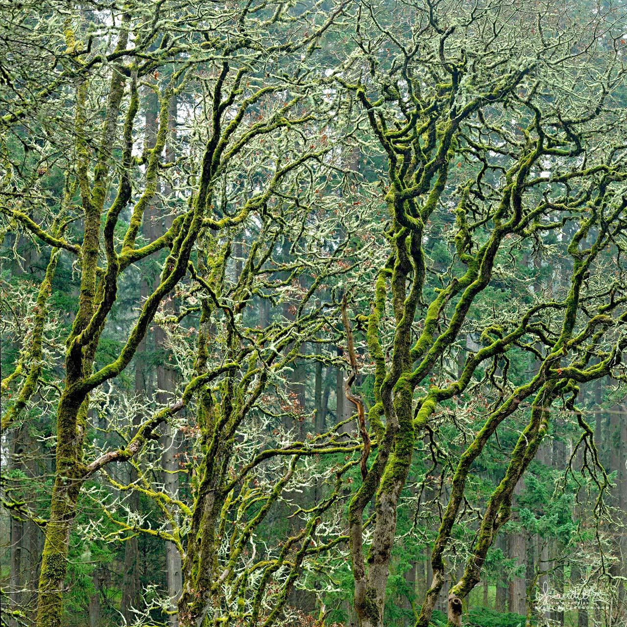 white oak Hendricks Park Eugene Oregon