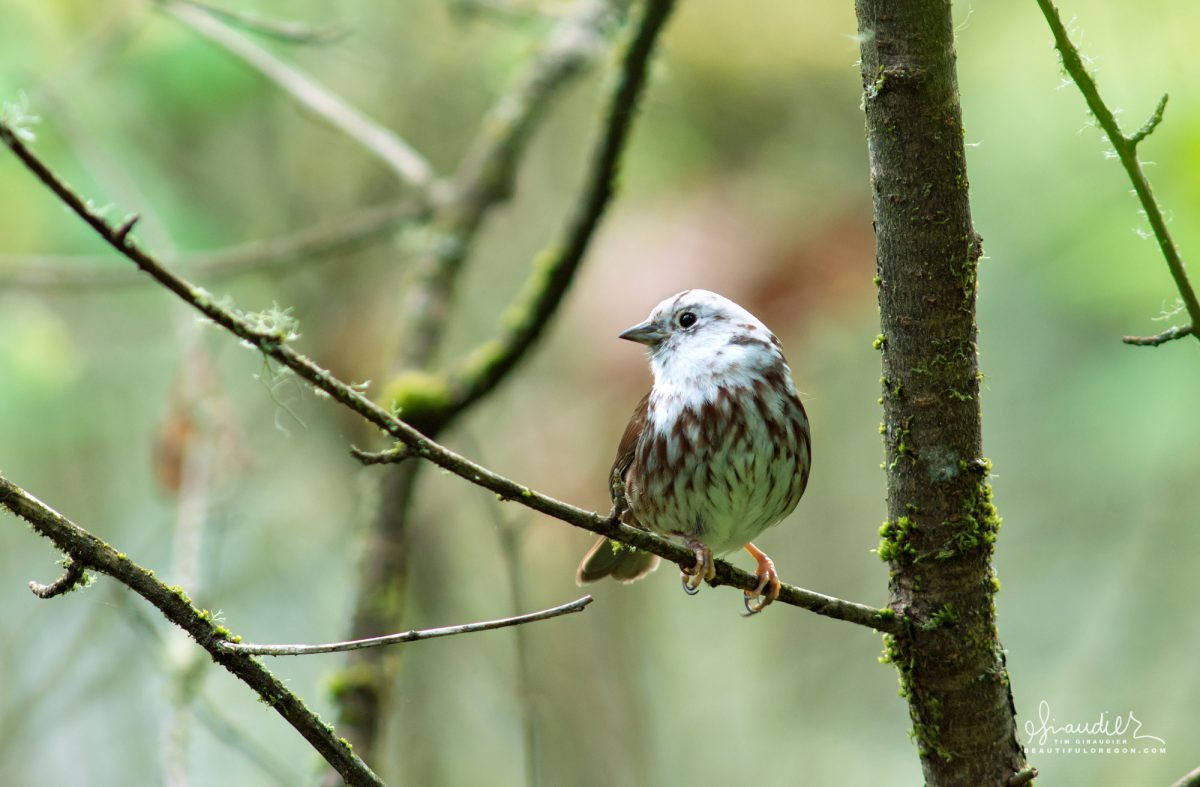 A Song Sparrow displaying a leucistic pattern of plumage where genetic mutation significantly lightens portions of feathers. Birds of Oregon.