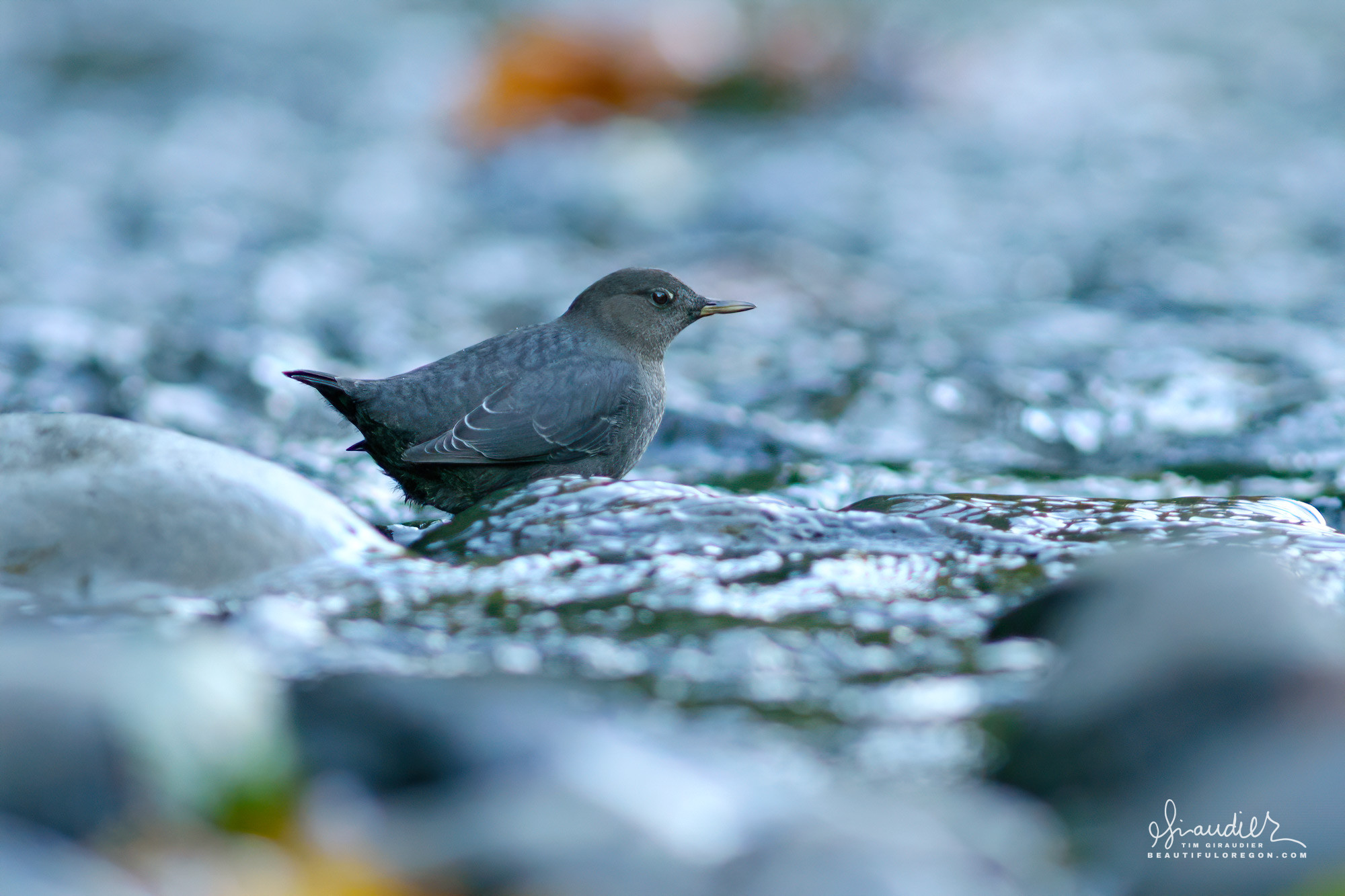 An American Dipper (Cinclus mexicanus) forages gravel beds in Eagle Creek for recently spawned Coho Salmon eggs. Columbia River Gorge, Oregon.
