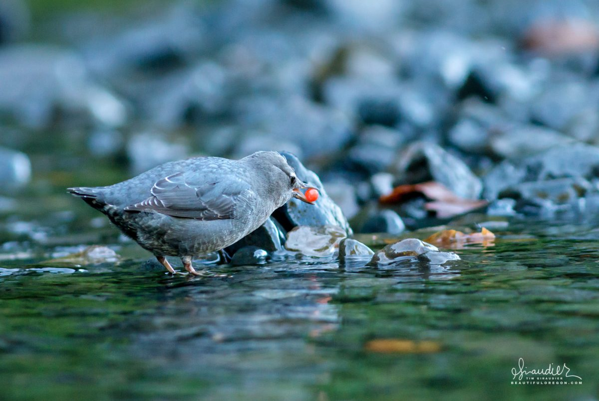 An American Dipper (Cinclus mexicanus) gleans for recently spawned coho salmon eggs. Eagle Creek, Columbia Gorge. Multnomah County, Oregon.