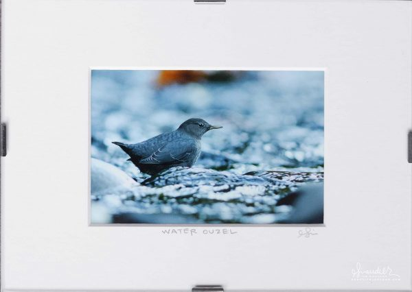 American Dipper - Water Ouzel (Cinclus mexicanus). Eagle Creek, Mount Hood National Forest, Columbia River Gorge.