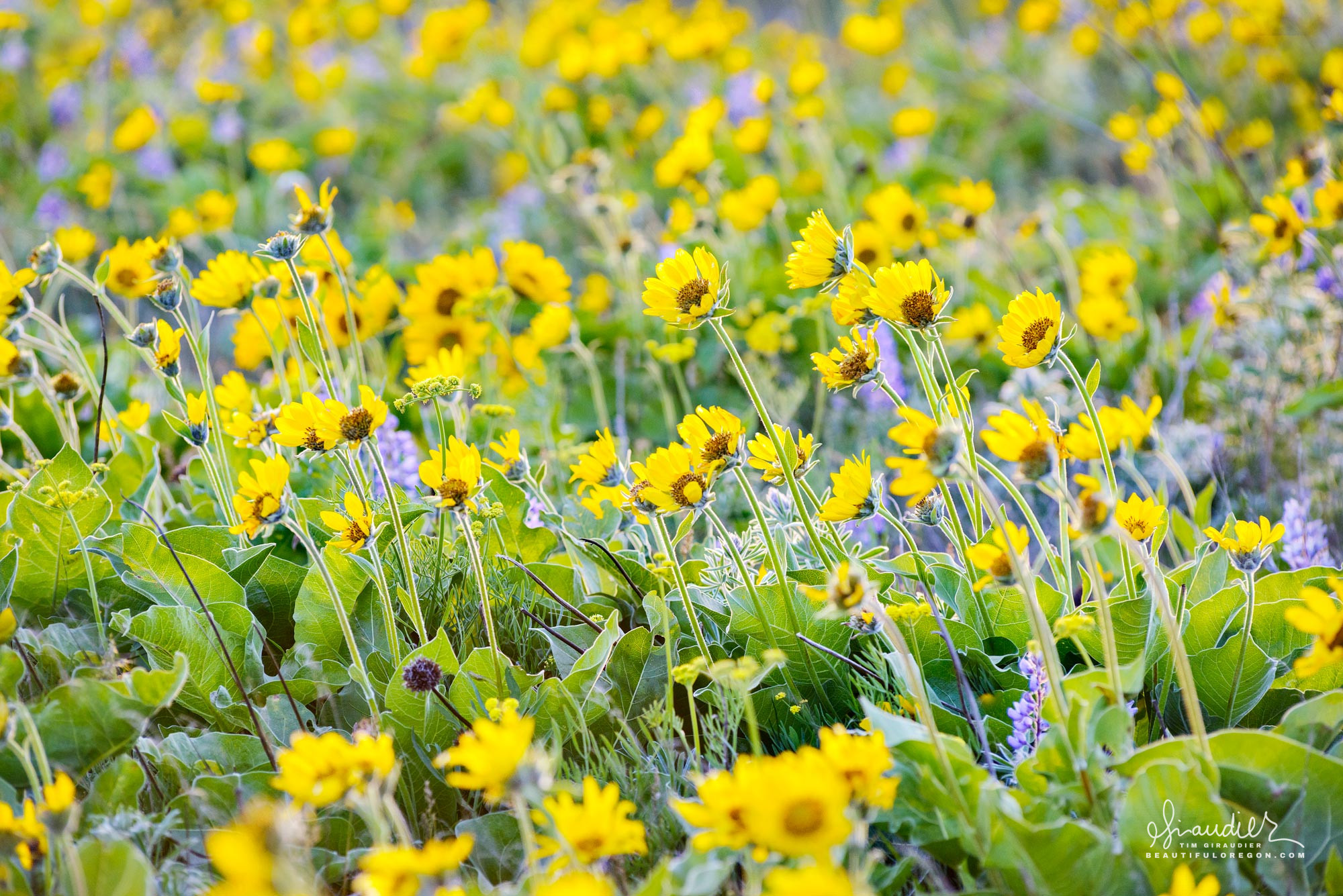 Colorful fields of Arrowleaf Balsamroot (Balsamorhiza sagittata) and Lupine erupt into spring at east end of Columbia Gorge. Columbia Hills State Park, Washington.