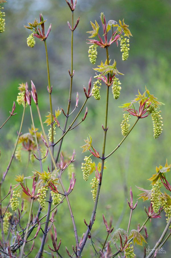 A Bigleaf Maple (Acer macrophyllum) buds out flowers and soft new foliage in early spring. Mount Pisgah Arboretum, South Willamette Valley.