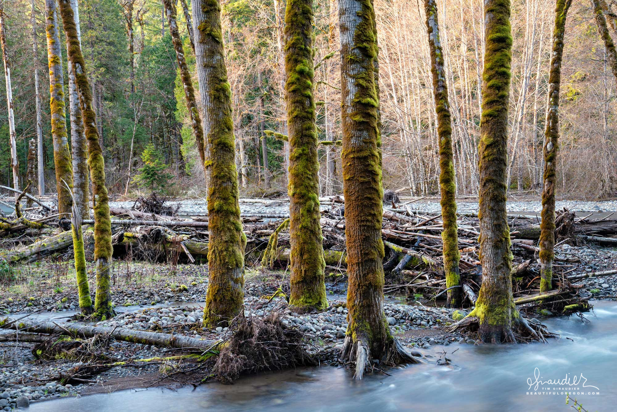 Developing side channel at Salmon Creek with riparian forest and cottonwood trees. Willamette National Forest, Oregon West Cascades.