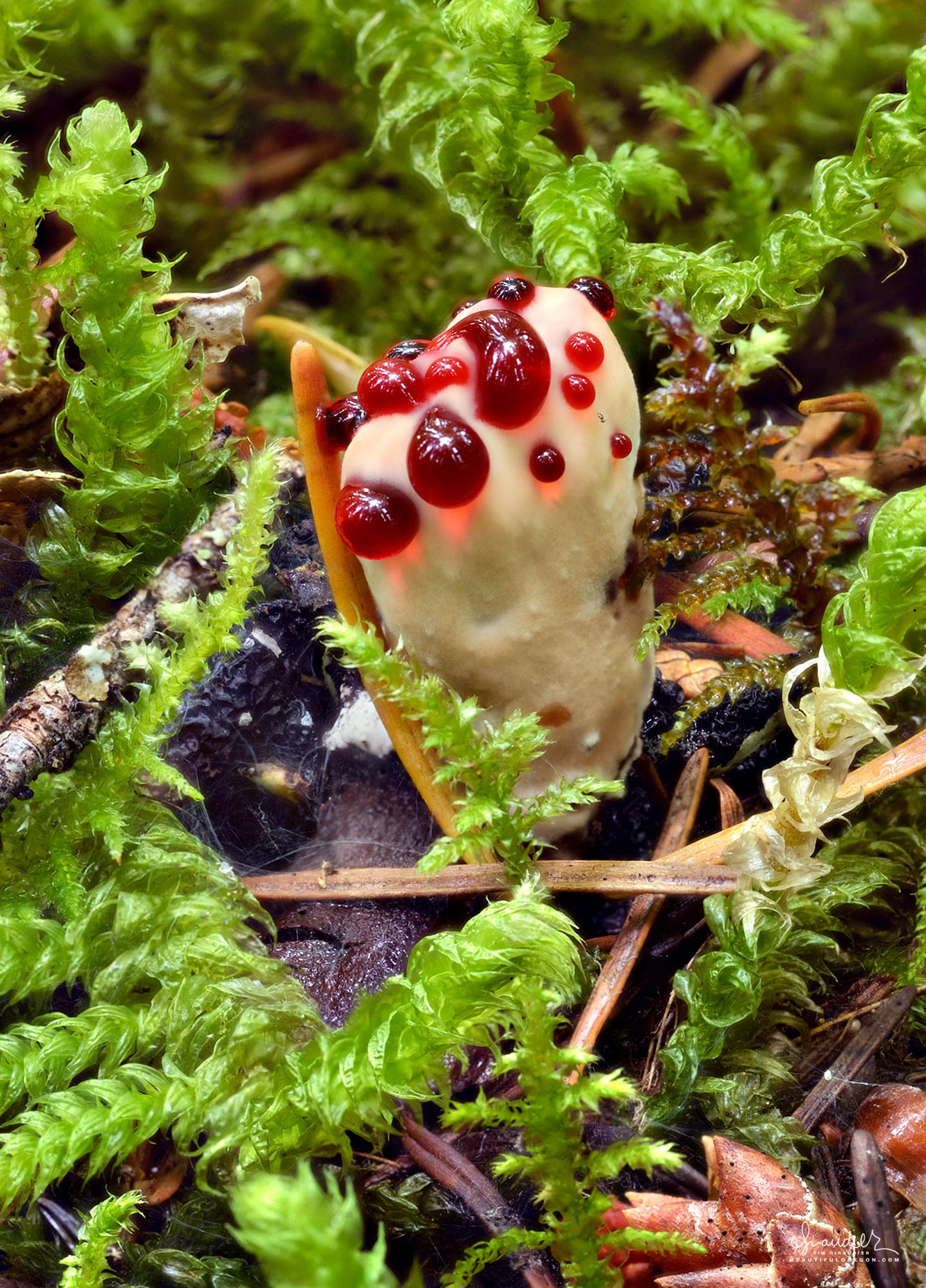 A Bleeding Hydnellum (Hydnellum peckii) exudes its characteristic red liquid. This fungus is prized for the natural dyes it produces. Willamette National Forest, Oregon Cascades.