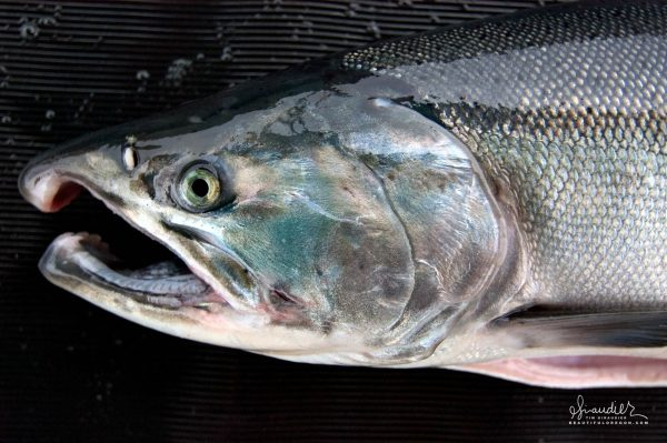 A male Silver Salmon (Oncorhynchus kisutch) with characteristic kype developing on upper snout. Cross Sound, Southeast Alaska.