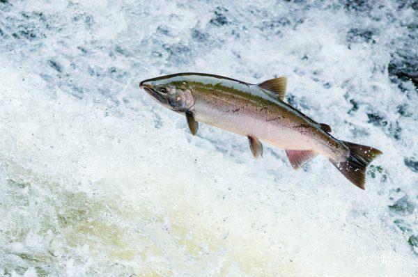 A spawning Siuslaw River female Coho Salmon (Oncorhynchus kisutch) attempts a difficult rapid in Lake Creek. Lane County, Oregon Coast Range.