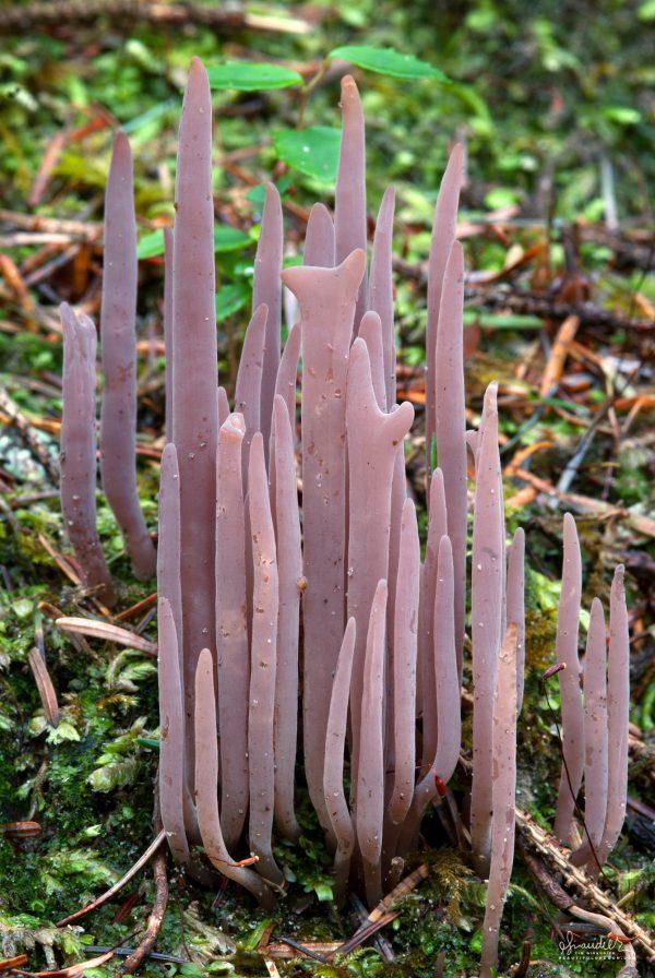Purple Fairy Club (Alloclavaria purpurea). Lane County, Siuslaw National Forest, Oregon Coast Range. Mushrooms of the Pacific Northwest.