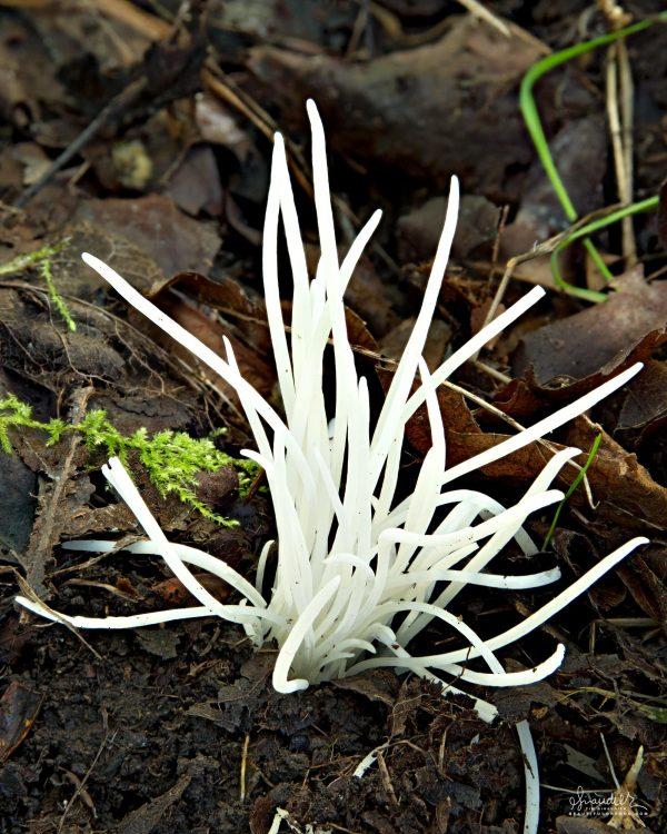 Fairy Fingers Mushroom (Clavaria vermicularis). Willamette National Forest, Oregon West Cascades. Mushrooms of the Pacific Northwest.