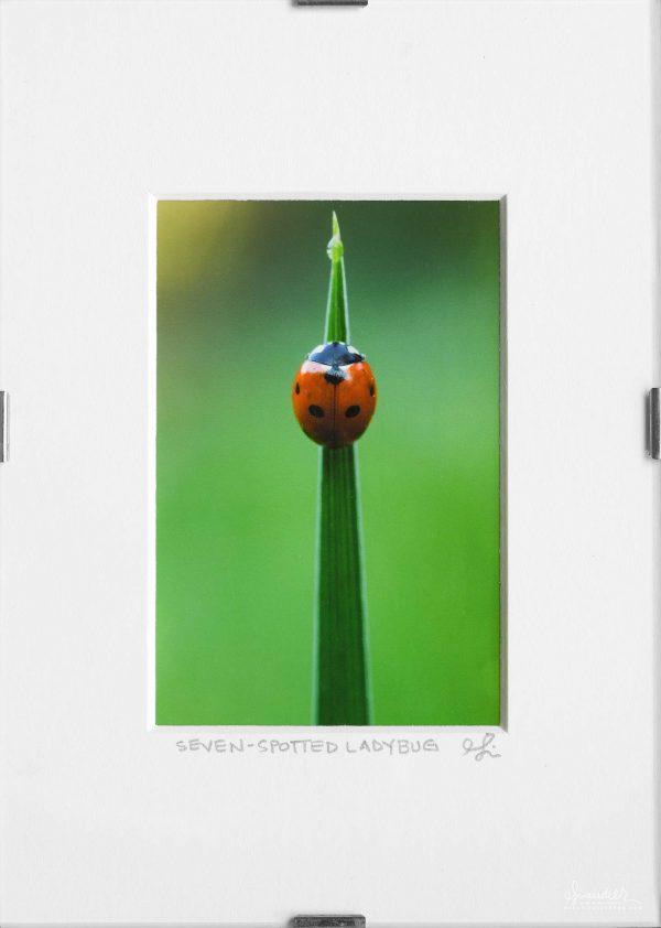 Five Spotted Ladybug