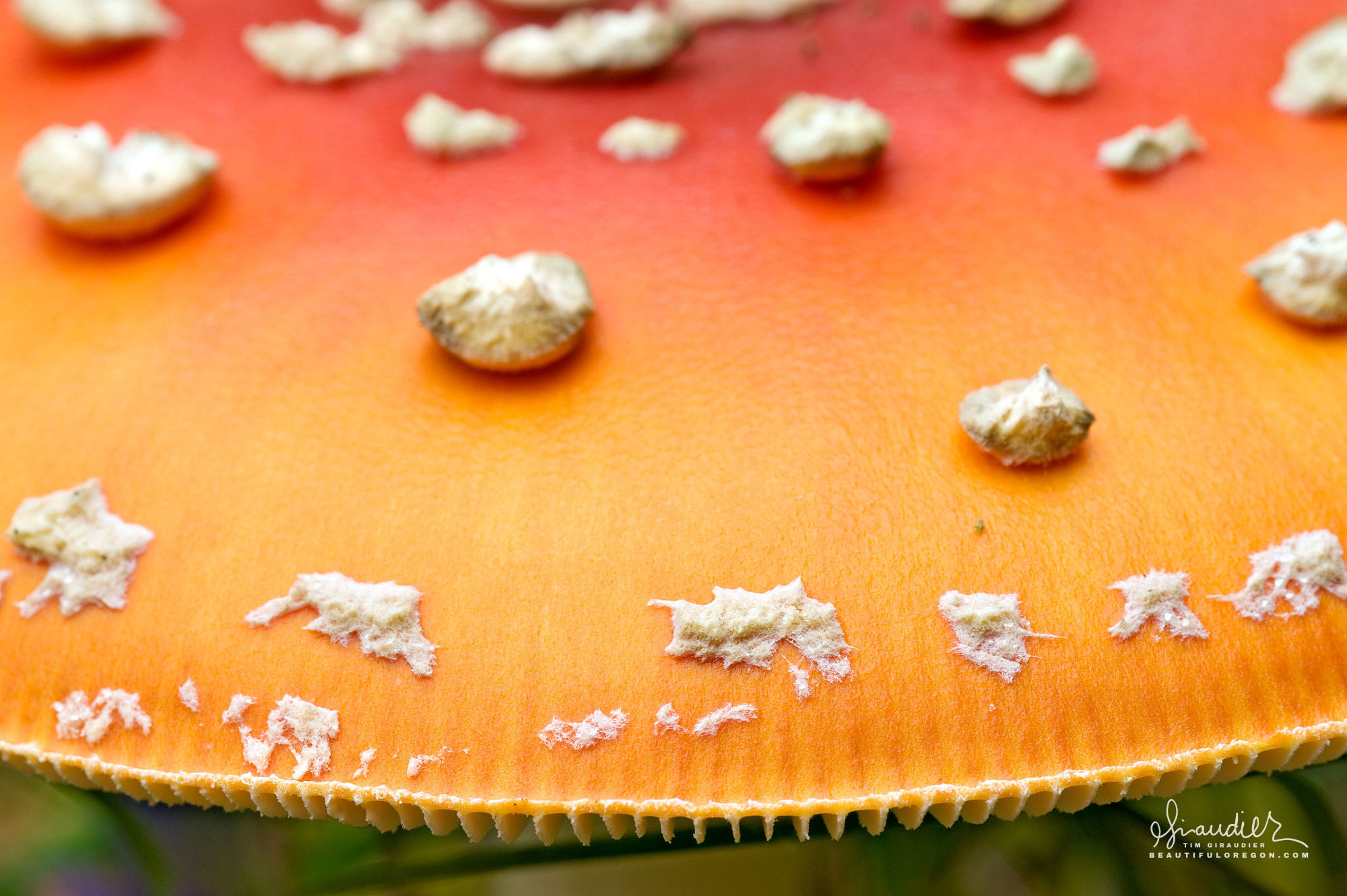 Detail of Fly agaric (Amanita muscaria), illustrating margin striations and fragments of universal veil which remain on surface of cap. Mushrooms of Oregon and Pacific Northwest.
