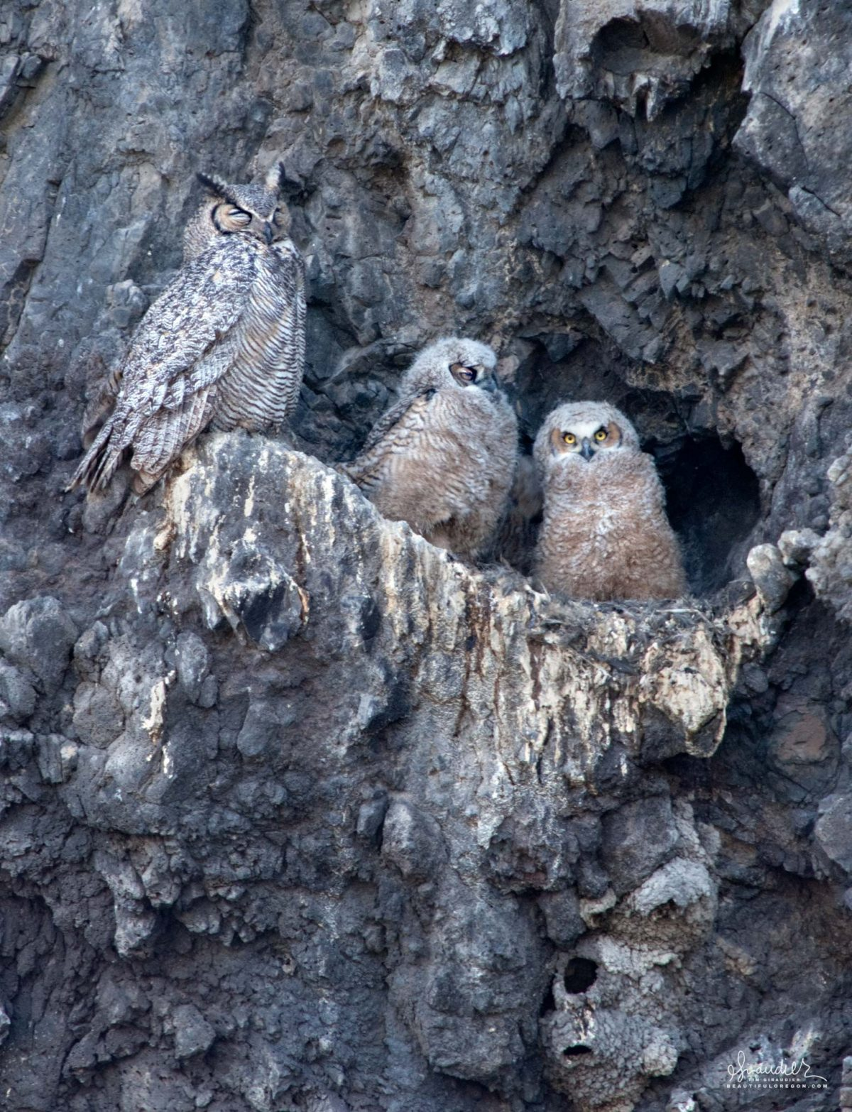 Nesting Great Horned Owl (Bubo virginianus) with owlets. Lower Klamath National Wildlife Refuge, Siskiyou County, California. Bird watching photography