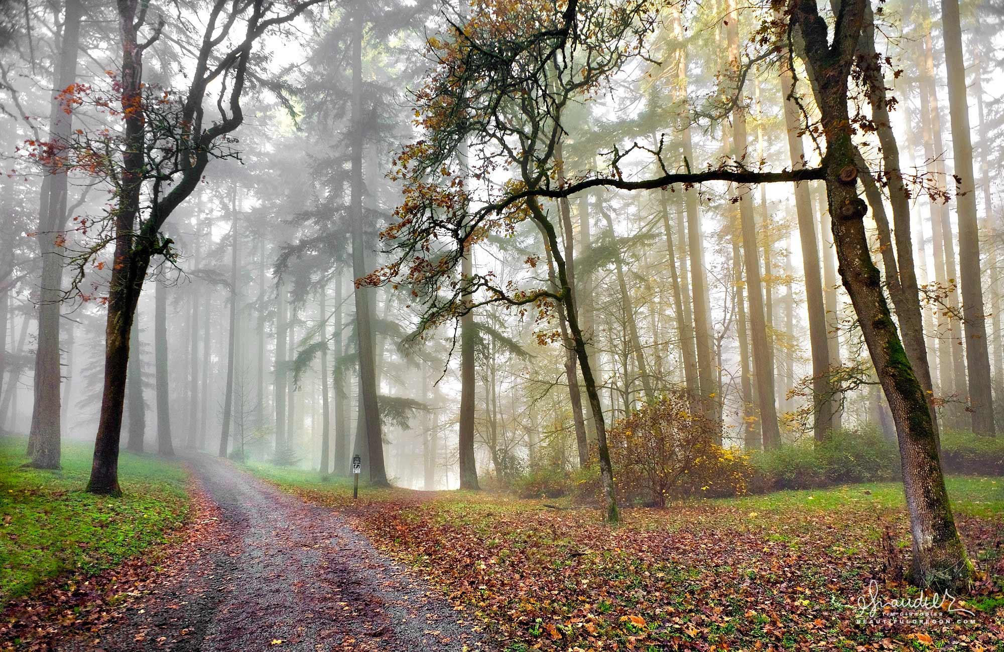 Sunshine begins to show through a thin veil of fog along this oak lane in Hendricks Park. Willamette Valley, Lane County, Eugene Oregon.