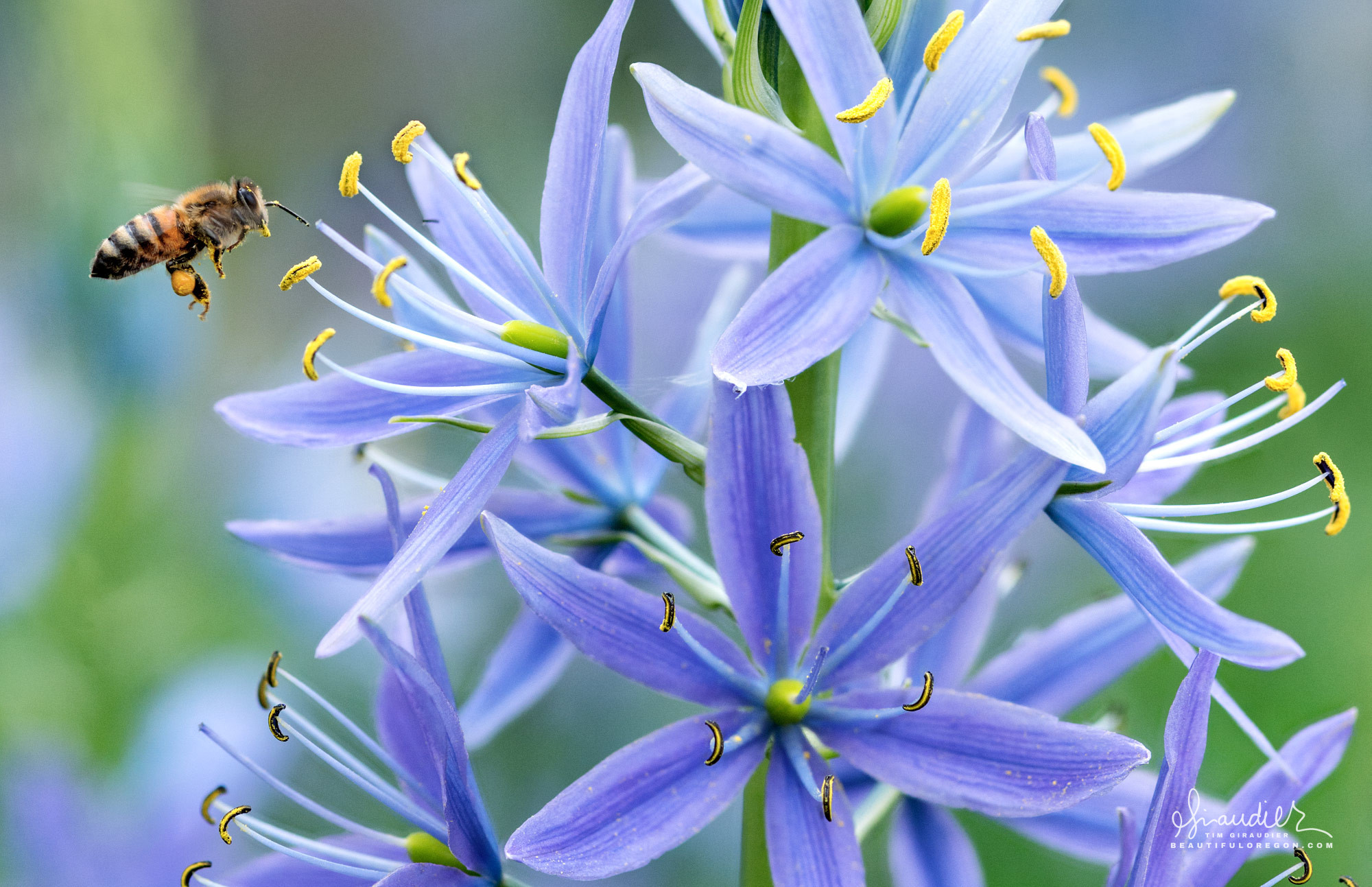 A honey bee gathers nectar and pollen from Camas Lily at Mount Pisgah Arboretum. Lane County, Willamette Valley, Oregon.