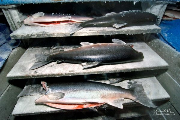 Silver Salmon on the freezer plates in blast freezer of the F/V Cape Cleare. Frozen At Sea (FAS) salmon, Southeast Alaska commercial fisheries.