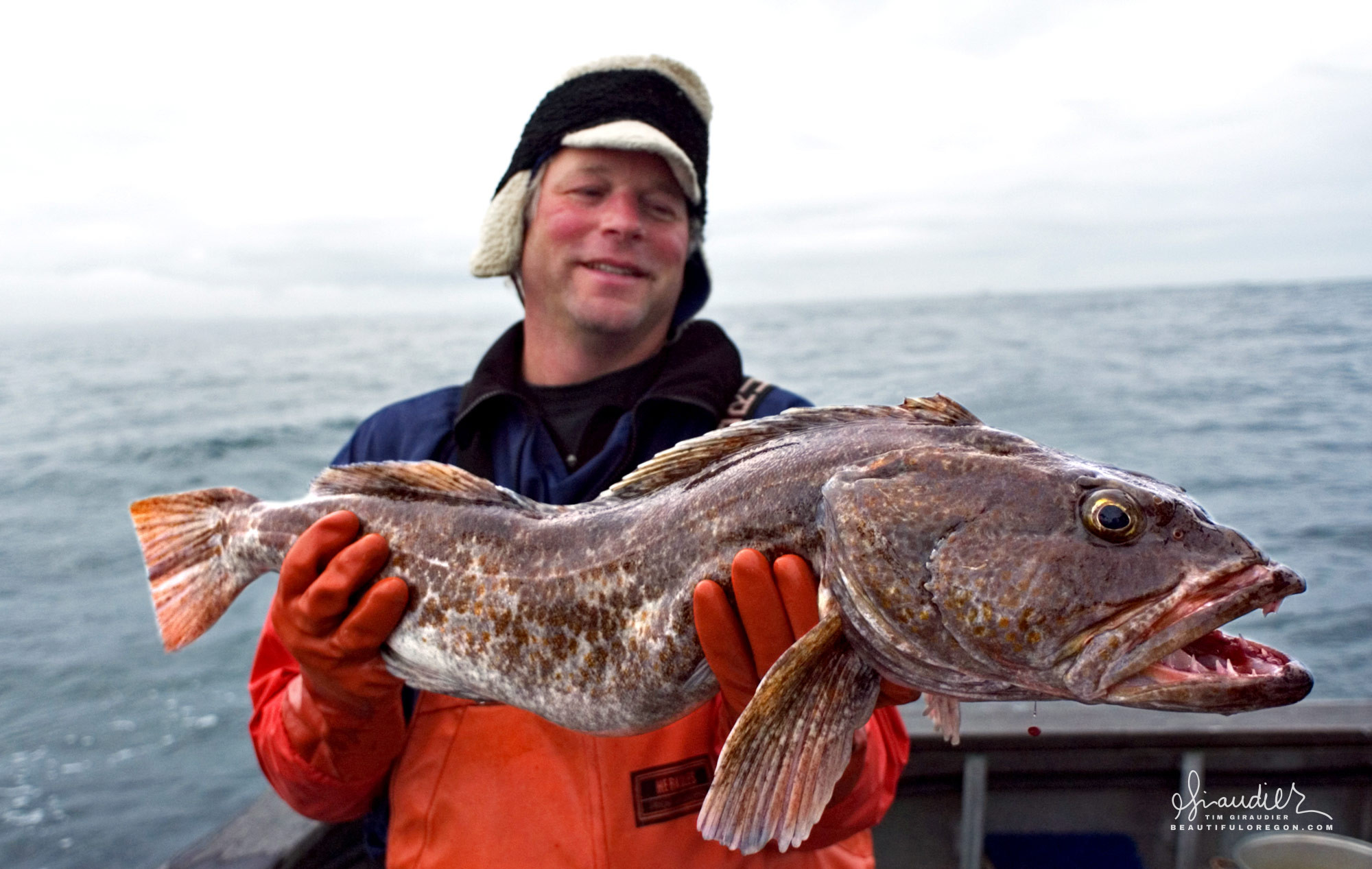 A medium sized Ling Cod (Ophiodon elongatus) picked up while troll fishing for King Salmon in the Gulf of Alaska.