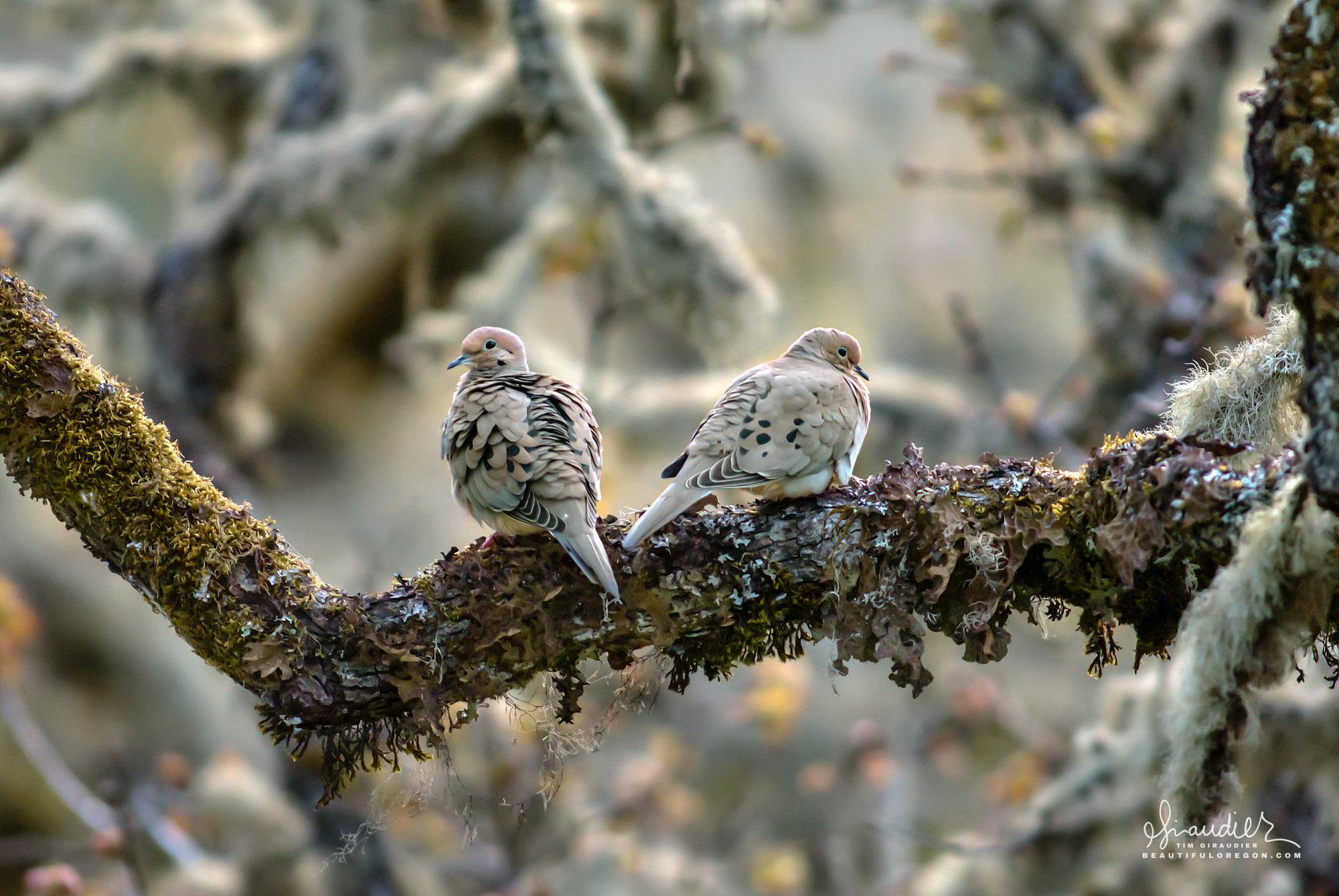 A pair of Mourning Doves (Zenaida macroura) shelters amidst the bramble of White Oak at Mount Pisgah Arboretum, Willamette Valley, Oregon.
