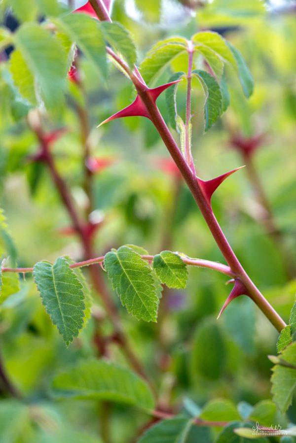 Detail of thorns of a Nootka Rose (Rosa nutkana). Willamette Valley, Oregon.