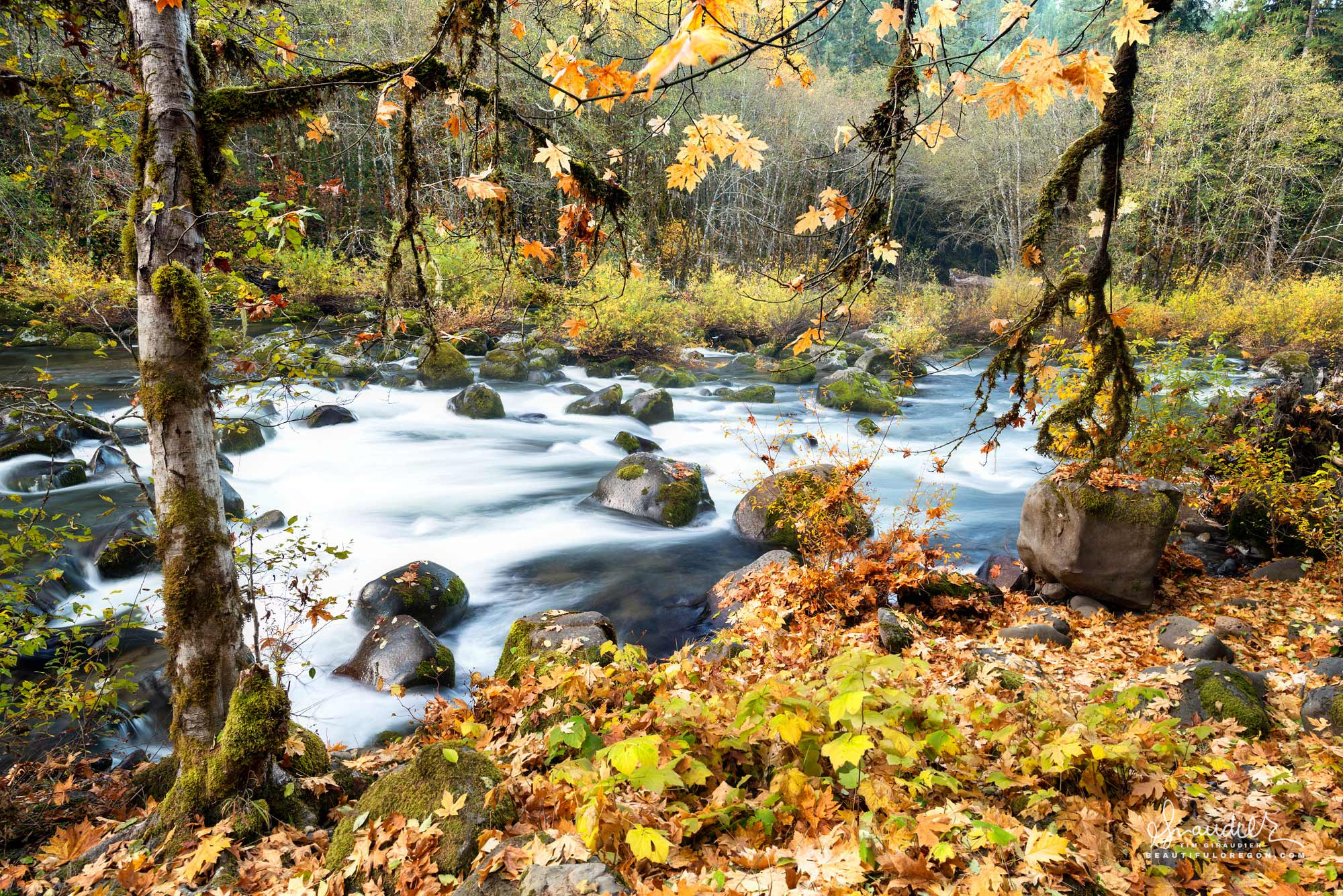 Bigleaf Maple and Thimbleberry turn autumn gold as winter makes its approach along the North Fork of Middle Fork Willamette River. Willamette National Forest, Oregon West Cascades.