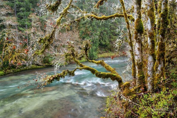 A grove of White Oak (Quercus alba) along the North Fork of Middle Fork Willamette River. Willamette National Forest, Oregon
