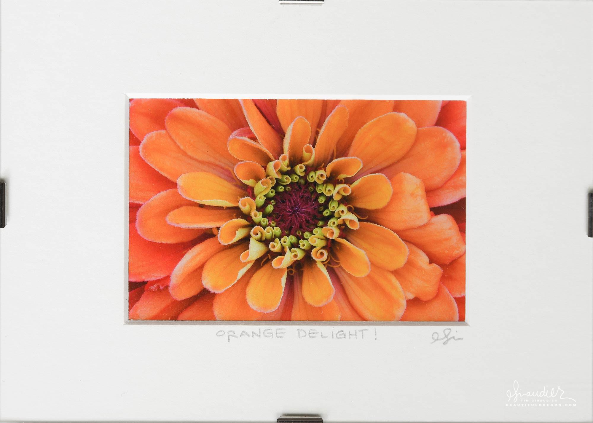 Orange Delight! Zinnia elegans