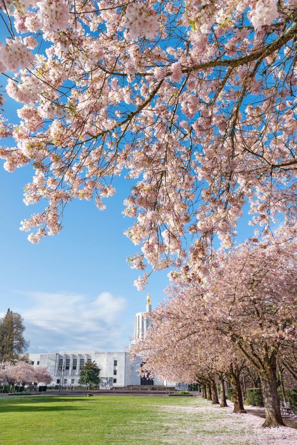 On a blue sky day in April, cherry blossoms spring into full bloom at the State Capitol in Salem Oregon. Willamette Valley, Marion County landscape photography.
