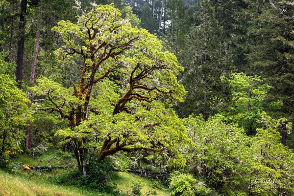 An Oregon White Oak (Quercus garryana) lush with spring foliage grows at the edge of a Doug-fir forest. Willamette National Forest. Lane County, Oregon West Cascades