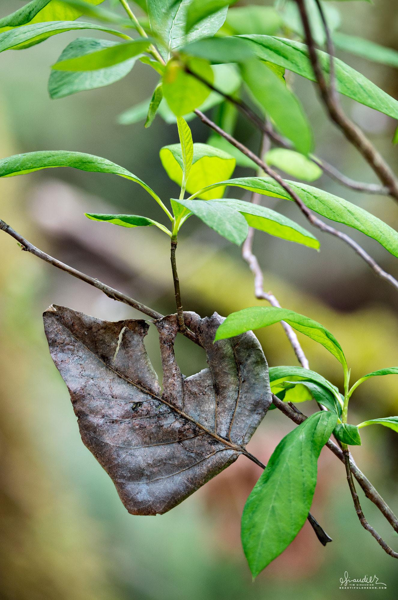 A Black Cottonwood leaf from last fall dangles from the spring growth of an Oso Berry (Oemleria cerasiformis). Salmon Creek, Willamette National Forest