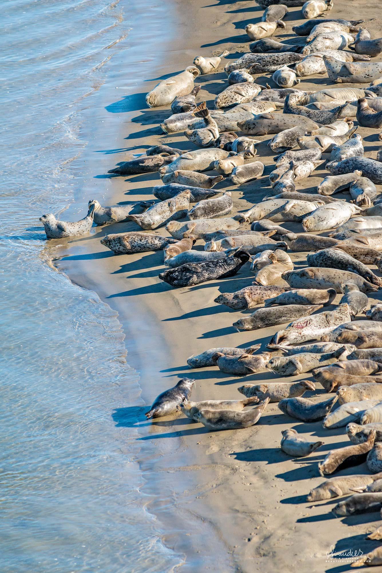 Pacific Harbor Seals (Phoca vitulina richardsi) gather on a sandbar to sun themselves in January. Alsea Bay, Lincoln County, Oregon Central Coast photography.