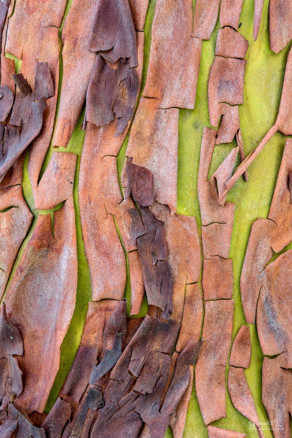 A Pacific Madrone tree sheds its outer bark in spring as the pistachio green of new bark develops beneath. Hendricks Park, Eugene Oregon.