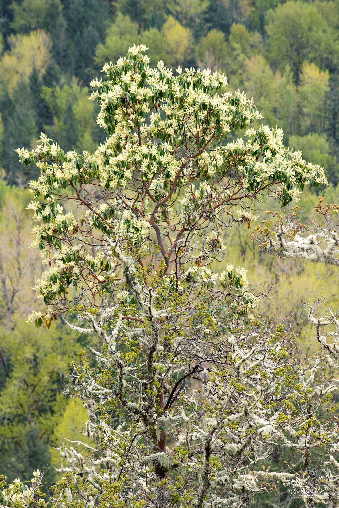 On a sunny south slope overlooking the Middle Fork Willamette River, a Pacific Madrone (Arbutus menziesii) is in full spring bloom. Willamette National Forest, Oregon West Cascades.