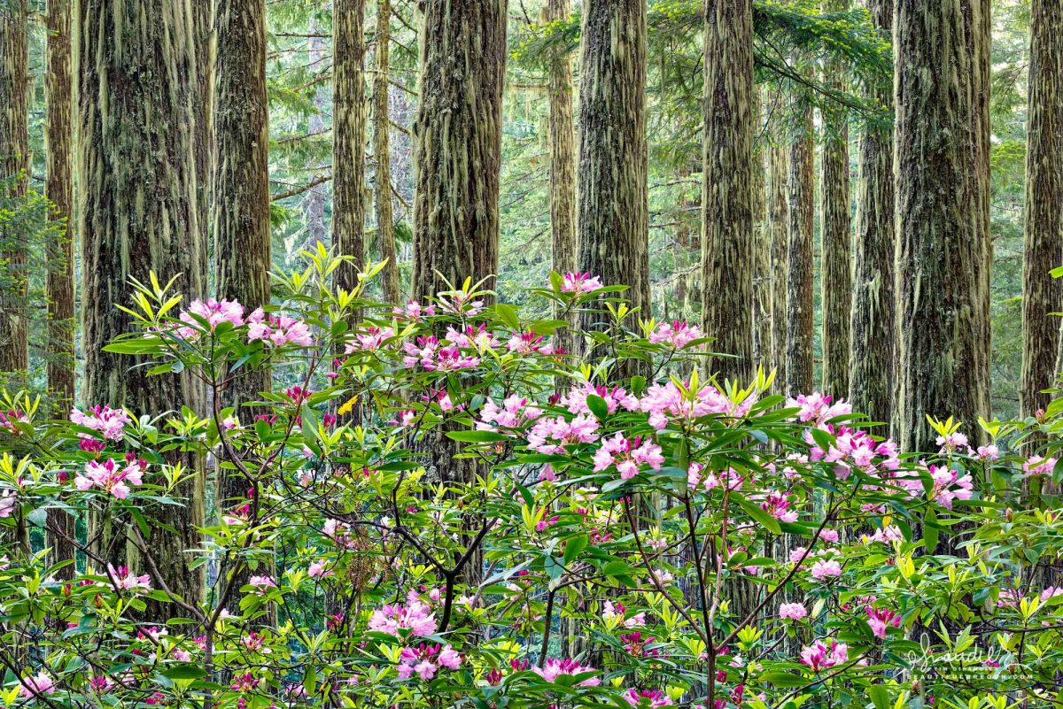 Pacific Rhododendron (Rhododendron macrophyllum) bloom at the edge of a Doug-fir forest. Willamette National Forest, Lane County, Oregon West Cascades.