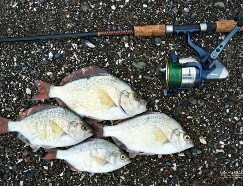 Surf Perch Fishing on the Oregon Coast