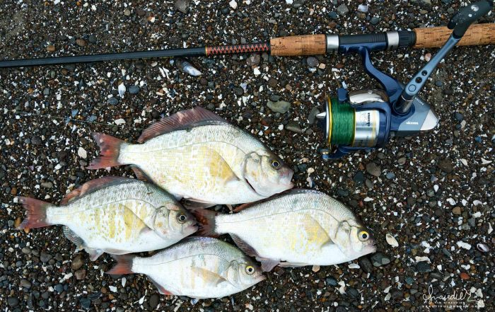 Fishing for Redtail Surf Perch (Amphistichus rhodoterus) with spin cast and natural bait. Rocky Knoll, Lane County, Oregon Central Coast.