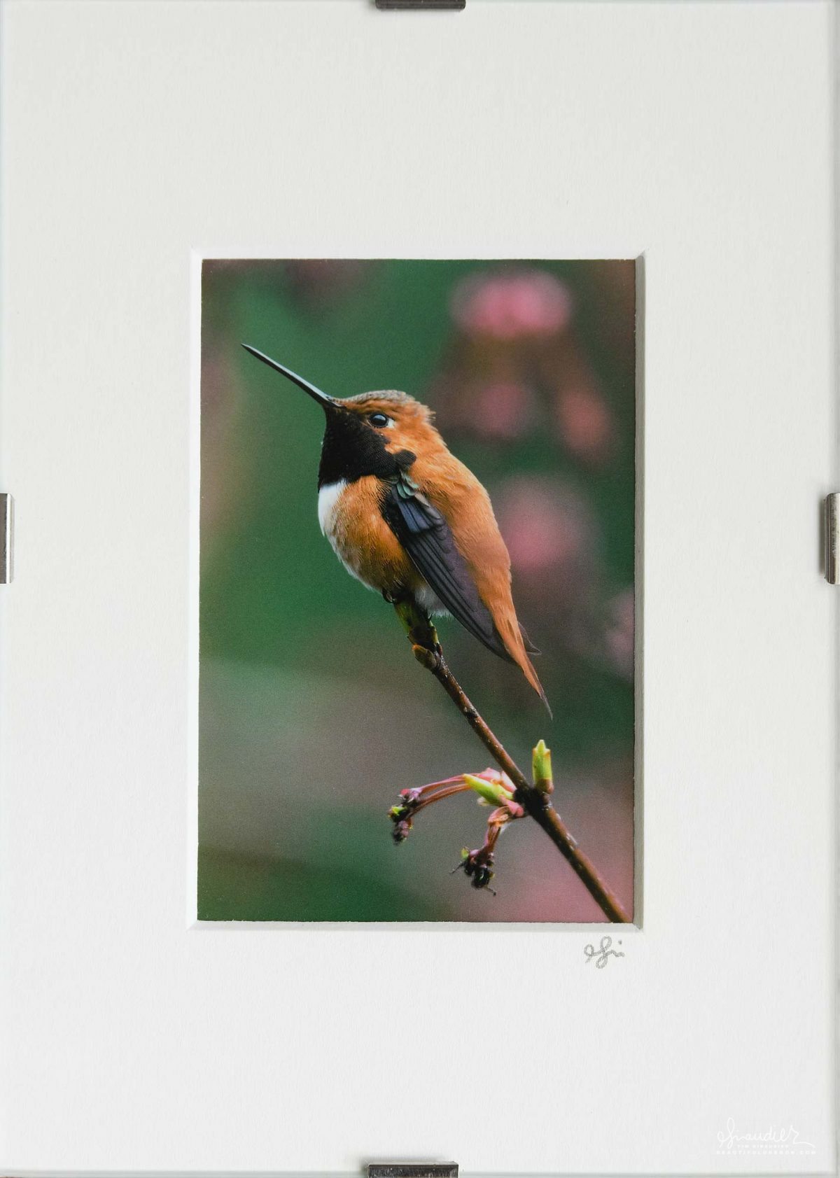 Rufous Hummingbird At Rest In Maple Tree.