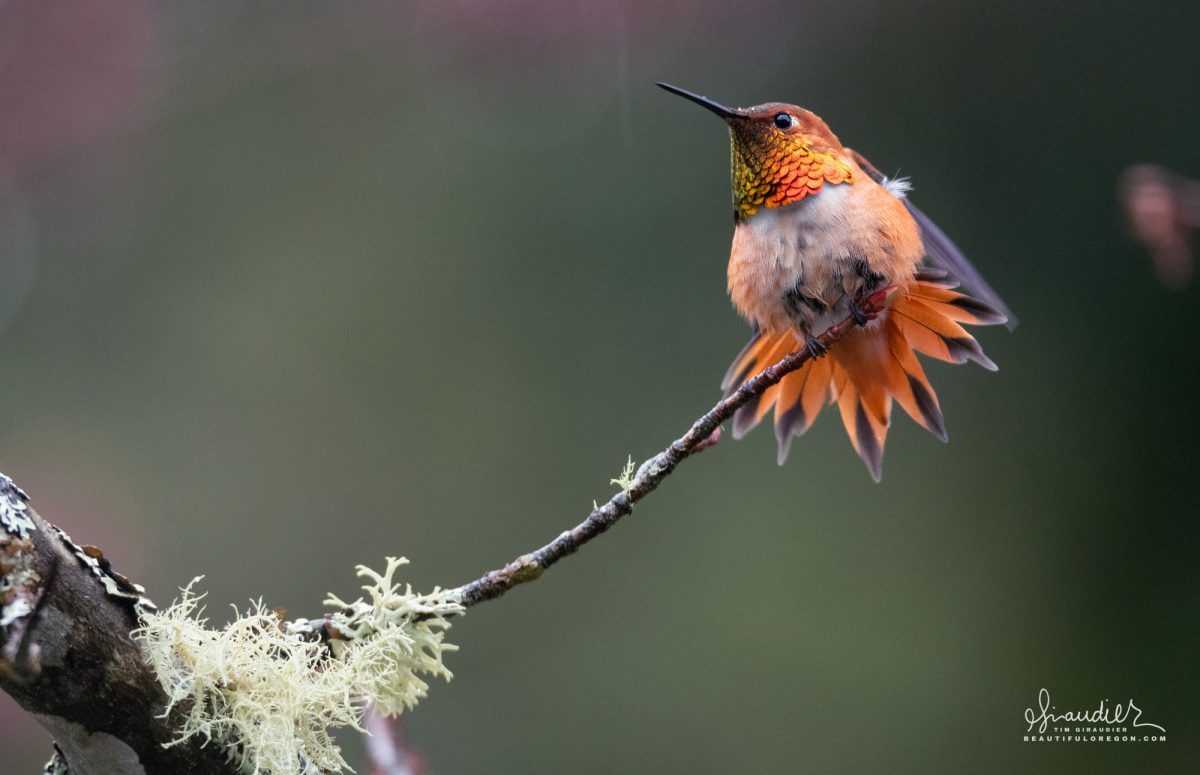 A Rufous Hummingbird (Selasphorus rufus) splays his tail feathers in a mating display. Willamette National Forest, Oregon West Cascades.