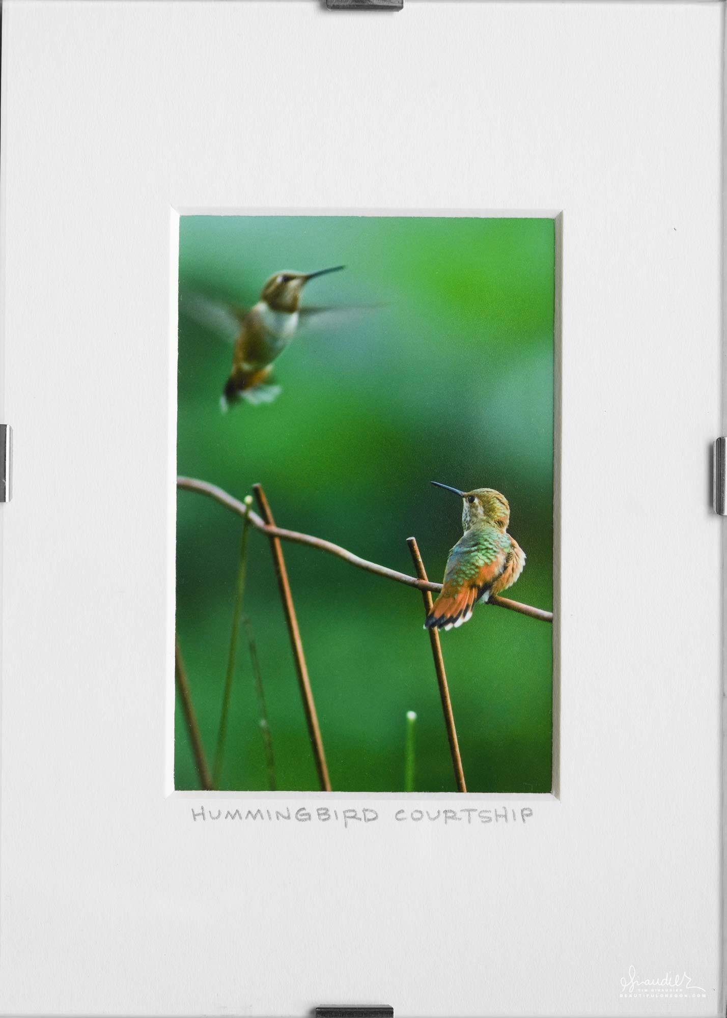 Rufous Hummingbird Mating Display