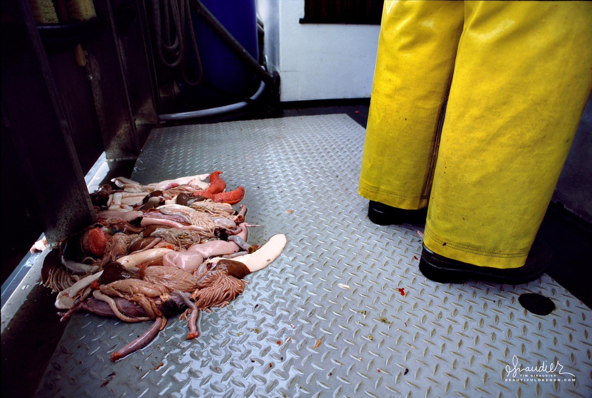 Cleaning fish and salmon guts, the daily life of crewman aboard an Alaska salmon troller.