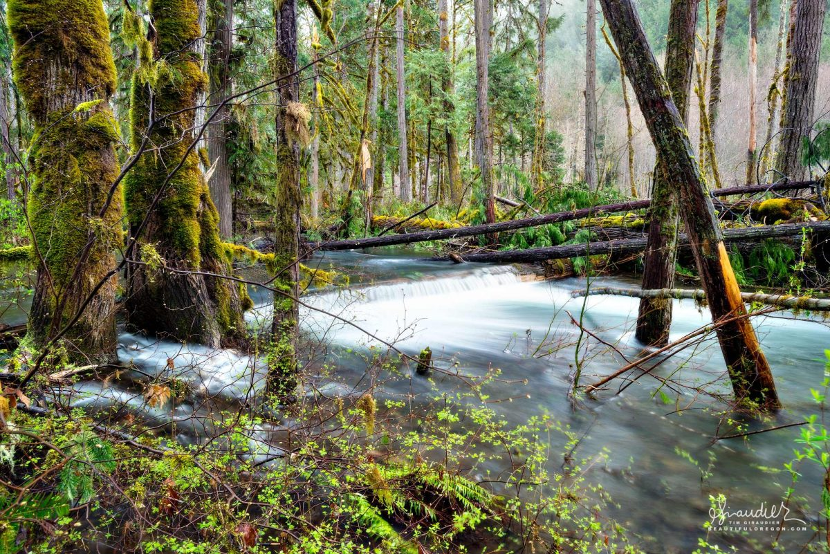A flood event along Salmon Creek send a tremendous volume of water into a riparian forest side channel. Willamette National Forest, Oregon.
